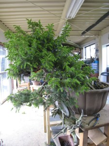 Needle Juniper Before
