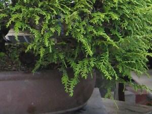 Hinoki Foliage