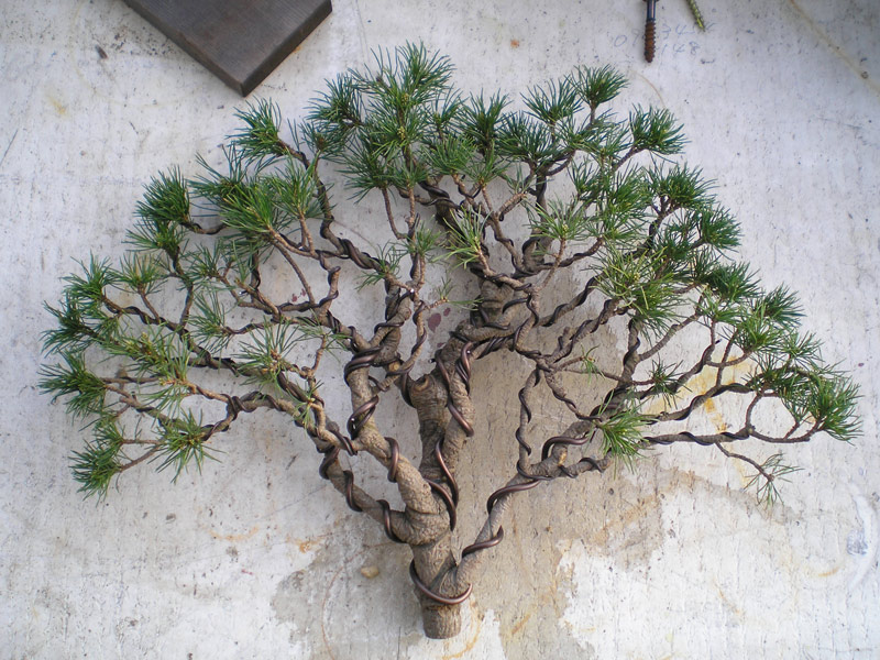 ezo spruce nichigo bonsai rh nichigobonsai com Blue Spruce Bonsai White Spruce Bonsai