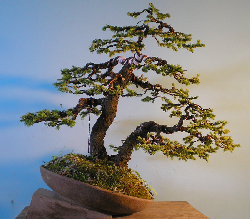 ezo spruce nichigo bonsai rh nichigobonsai com Bonsai Redwood Banana Bonsai Tree