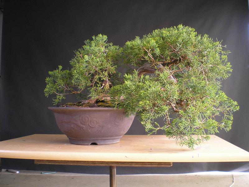 Juniperus chinensis | Nichigo Bonsai
