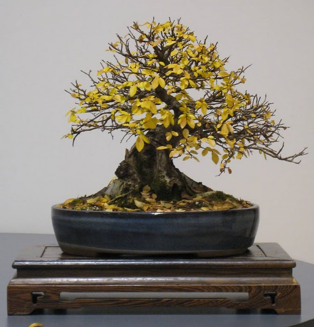 Defoliation Nichigo Bonsai