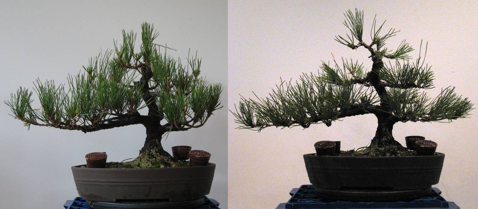 Bonsai Tree Wiring Before And After Automotive Diagram Juniper Maintenence Nichigo Page 3 Wire Sculpture Tips