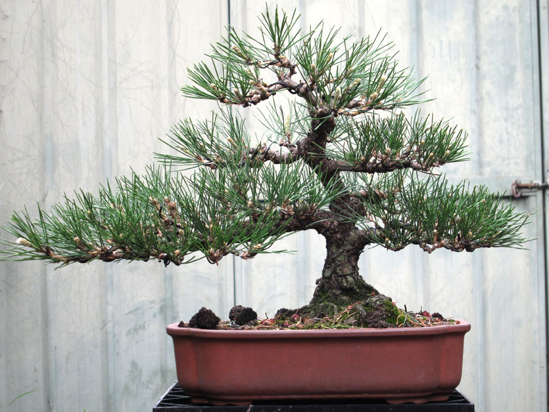 japanese black pine re wire nichigo bonsai rh nichigobonsai com Black Pine Bonsai Styles Japanese Black Pine Bonsai