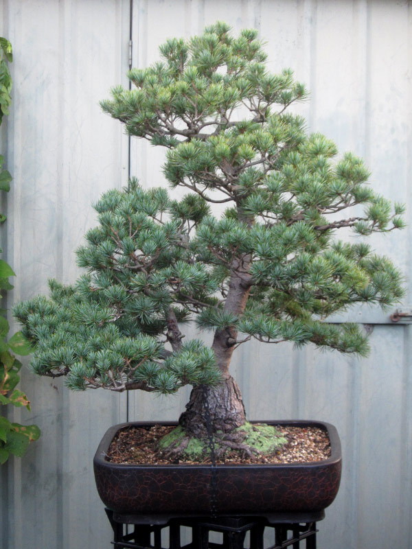 white pine asian personals Japanese black pine is a wonderful rugged pine as well as being an essential tree for asian-themed gardens japanese white pine pine trees 500 out of 5.