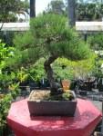 A nice little pine