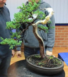 Progression Nichigo Bonsai