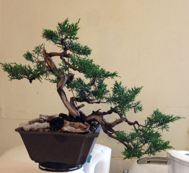 wiring nichigo bonsai rh nichigobonsai com Bonsai Wiring Tips Bonsai Silhouette