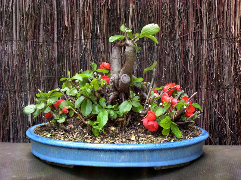 Flowering Quince Chaenomeles Japonica Nichigo Bonsai