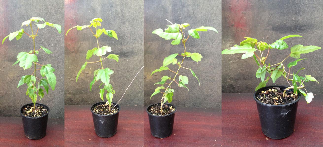 Growing From Seed Nichigo Bonsai Wiring Juniper Tree The Seedlings