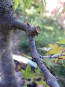 Its easy to prune large branches when you know they will be easily replaced by buds at the base.