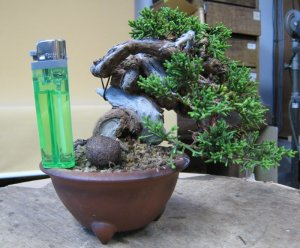 A juniper grown from cutting could save a year or two compared from starting from seed.
