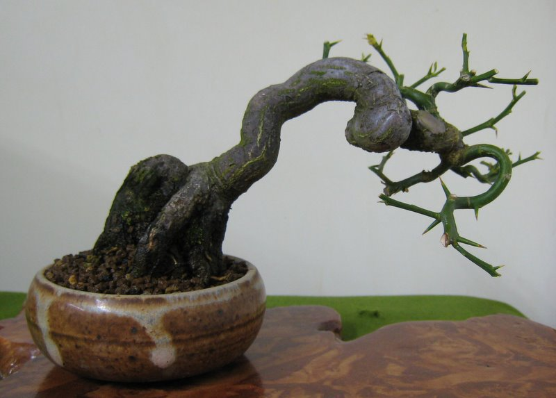 growing from seed  nichigo bonsai, Beautiful flower