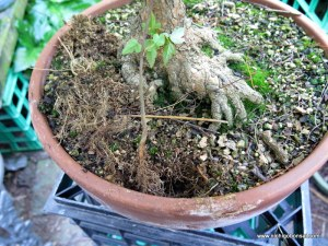 Seedling planted in the same pot.