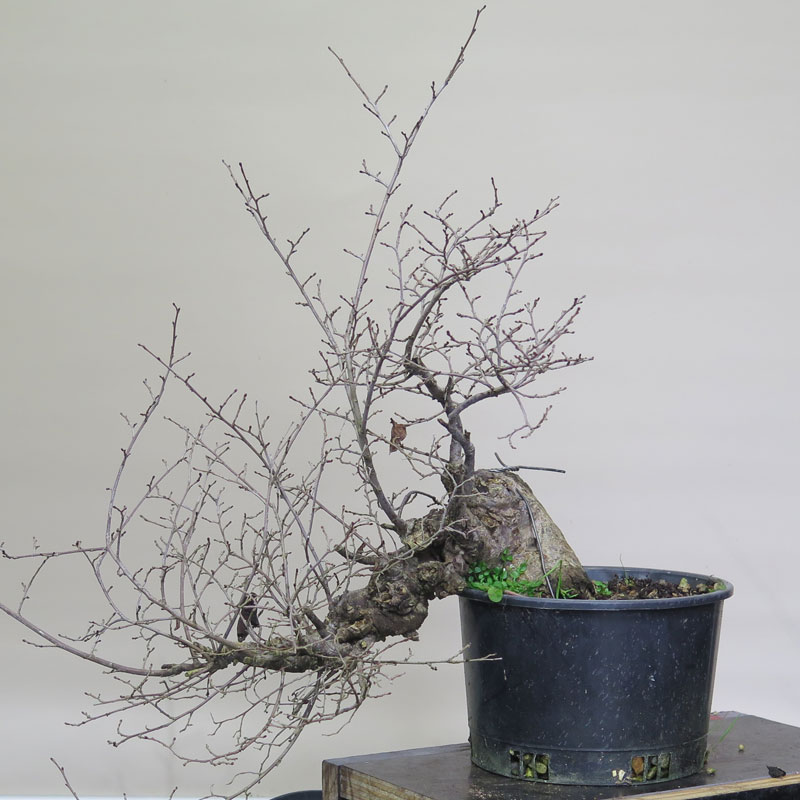 English Elm Nichigo Bonsai